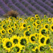 Lavender and  sunflowers 09 - Stock Photo