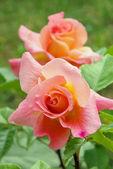Růže 39 — Stock fotografie