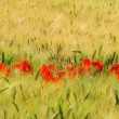 Stock Photo: Corn poppy in field