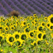 Lavender and  sunflowers — Stock Photo