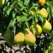 Pear on tree — Stock Photo #21240677