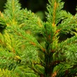 Stock Photo: Spruce twig