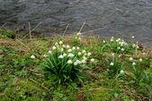 Wild daffodil — Stock Photo
