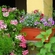 Stock Photo: Geranium 05