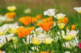 California poppy — Stockfoto