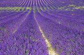 Lavender field 83 — Stock Photo