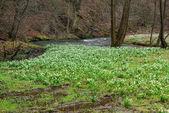 Wild daffodil 43 — Stock Photo