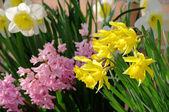 Daffodil and hyacinth 08 — Stock Photo
