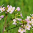 Cuckoo Flower 07 — Stock Photo