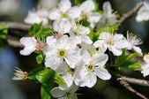 Plum blossom 36 — Stock Photo