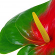 Anthurium 26 — Stock Photo