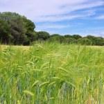 Barley field 01 — Stock Photo