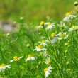 Camomile 23 — Stock Photo #22033957