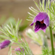 Pasque flower 09 — Stock Photo #22034415