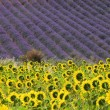 Foto Stock: Lavender and sunflowers 06