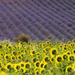 Stockfoto: Lavender and sunflowers 06