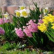 Daffodil and hyacinth 07 — Stock Photo