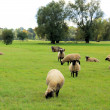 Stock Photo: Sheep 26