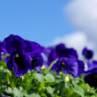Stock Photo: Pansy 13