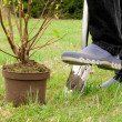 Stock Photo: Planting shrub 07