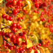 Stock Photo: Wild cherry in fall 04