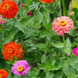 Zinnia 01 — Stock Photo