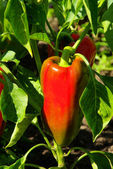 Paprika plant 03 — Stock Photo
