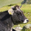 Alp cow — Stock Photo #22989856