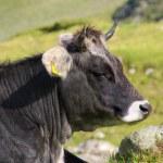 Alp cow — Stock Photo