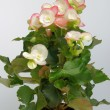 Stock Photo: Begonia