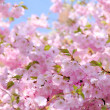 Cherry blossom — Stock Photo #22992296