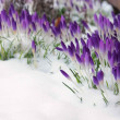 Crocus in snow  — Stock Photo