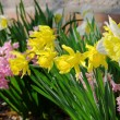 Daffodil and hyacinth - Stock Photo