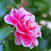 Japanese camellia — Stock Photo