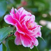 Japanese camellia — Stock Photo