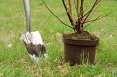 Planting a shrub — Stock Photo
