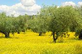 Prado com flores amarelas e oliveiras — Fotografia Stock