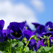 Stock Photo: Flowers pansy