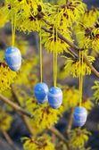 Hamamelis shrub in easter time — Stock Photo