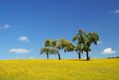 Meadow and cork oaks — Stock Photo