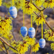 Hamamelis shrub in easter time — Stock Photo
