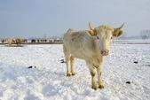 De koe — Stockfoto