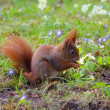 Red squirrel — Stock Photo #26660863