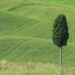 Stock Photo: Tuscany cypress