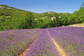 Lavender field — Zdjęcie stockowe