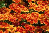 Tagetes flower — Stock Photo