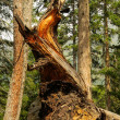 Splinted trunk — Stock Photo