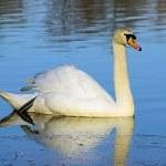 Swan — Stock Photo #28095451