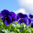 Pansy — Stock Photo #28095669