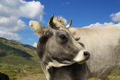 Krowa alp — Zdjęcie stockowe